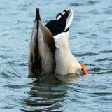 男性野鸭鸭子浸洗 免版税库存图片