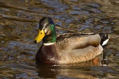 男性野鸭鸭子游泳在池塘 免版税图库摄影