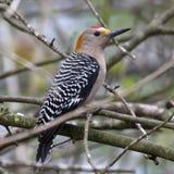 男性金黄朝向在树的啄木鸟 免版税库存照片