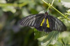 男性金黄Birdwing,被折叠的翼 免版税图库摄影