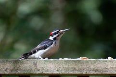 男性长毛的啄木鸟dendrocopos villosus 库存图片