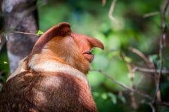 男性长鼻猴鼻肌larvatus 库存照片