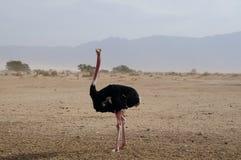 男性非洲驼鸟走 免版税库存图片