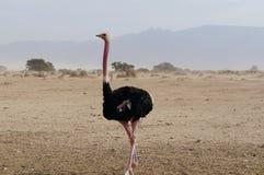 男性非洲驼鸟走 库存照片
