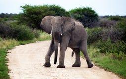 男性非洲大象架设 库存照片