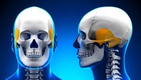 男性颞骨头骨解剖学-蓝色概念 免版税库存照片