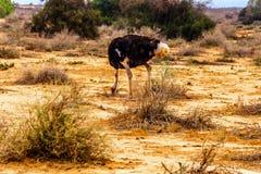 男性驼鸟吃在一个驼鸟农场的地面在南非的西开普省省的Oudtshoorn 免版税库存照片