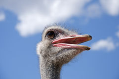 男性驼鸟纵向 免版税库存图片