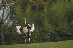男性驼鸟运行中 免版税库存图片