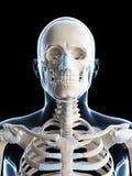 男性骨骼 免版税库存图片