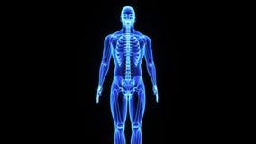 男性骨骼系统 皇族释放例证