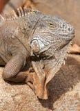 男性鬣鳞蜥纵向 免版税库存照片