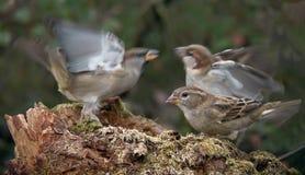 男性麻雀为女性相冲突在饲养者附近 库存照片