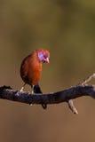 男性紫罗兰色有耳的Waxbill 免版税库存图片