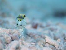男性黄色带头的大颚鱼嘴沉思的鸡蛋,博内尔岛,荷兰语安的列斯 库存图片