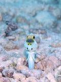 男性黄色带头的大颚鱼嘴沉思的鸡蛋,博内尔岛,荷兰语安的列斯 免版税库存图片