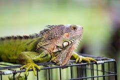 男性绿色鬣鳞蜥龙 库存照片