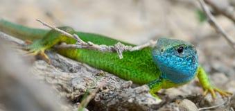 男性绿蜥蜴(蝎虎座viridis) 库存图片