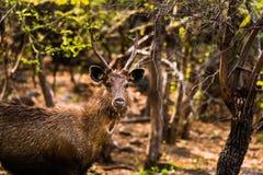 男性水鹿鹿观看 库存图片