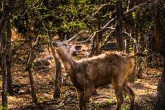 男性水鹿鹿观看 库存照片