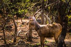 男性水鹿鹿观看 免版税库存照片