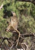 男性Chacma狒狒积极的显示 免版税库存图片