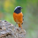 男性Daurian Redstart 免版税库存图片