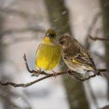 男性greenfinch的两只鸟女性和坐山脉灰分支反对背景落的雪花 免版税库存图片
