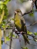 男性greenfinches,坐桦树春天分支  库存图片