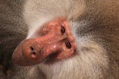 男性hamadryas狒狒画象 库存图片