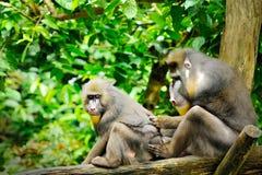 男性mandrill (山魈属狮身人面象)在新加坡动物园里 免版税图库摄影