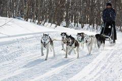 男性musher驾驶在冬天森林的狗sledding狗雪撬 库存照片