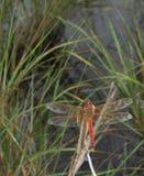 男性Needham的漏杓蜻蜓 库存照片