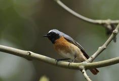 男性Redstart 免版税图库摄影