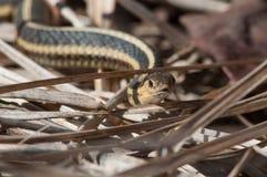 男管家的花纹蛇 免版税库存照片