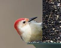男红鼓起的啄木鸟(Melanerpes carolinus) 免版税库存照片