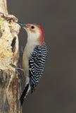 男红鼓起的啄木鸟(Melanerpes carolinus) 图库摄影