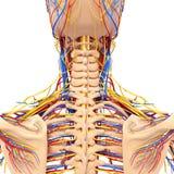 男解剖学转回去视图循环系统 图库摄影