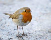 画眉欧洲知更鸟rubecula 库存照片