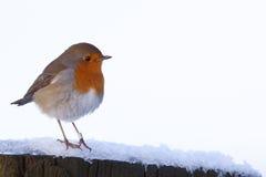 画眉知更鸟rubecula 库存图片