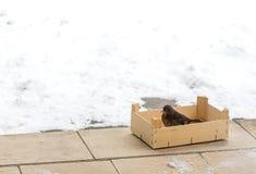 画眉类坐在鸟饲养者的merula鸟 提供冬天的鸟 爱并且保护自然概念 文本的空间 库存图片