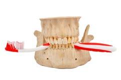 画笔下颌牙 免版税库存照片