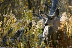 画笔鹿母鹿 免版税图库摄影
