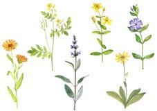 画药用植物的水彩 库存例证
