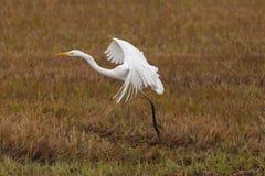 画象伟大的白色白鹭白鹭属晨曲在芦苇,被涂的翼 库存图片