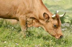 画象吃草Tarine的母牛 图库摄影