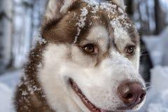 画象在冬天背景的西伯利亚爱斯基摩人狗,当走本质上时 积雪的枪口关闭 免版税库存照片