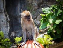 画象在黑风洞附近的短尾猿猴子 库存图片