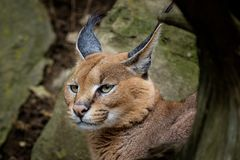 画象沙漠猫Caracal Caracal caracal或非洲天猫座 免版税库存照片