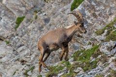 画象男性高山山羊属高地山羊山羊座上升的峭壁 免版税库存图片